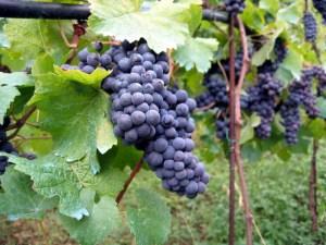 vineyard_in_montone