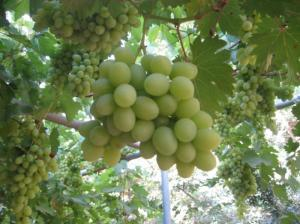 PikiWiki_Israel_2446_Grapes_in_Shtula_Israel_אשכול_ענבים