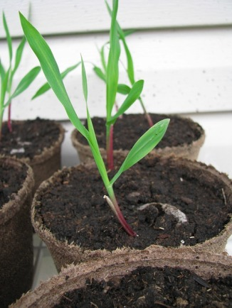 seedlings-1586462_640